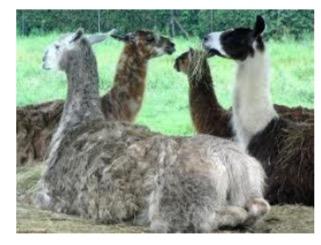 peuple lamas